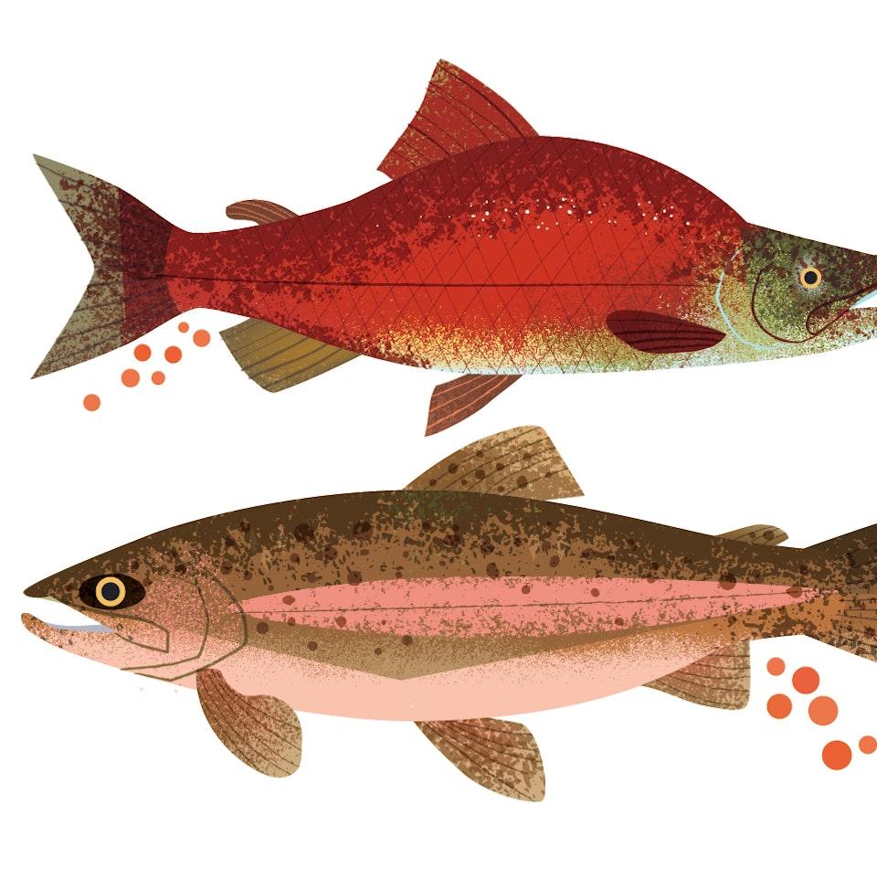 Fish visei