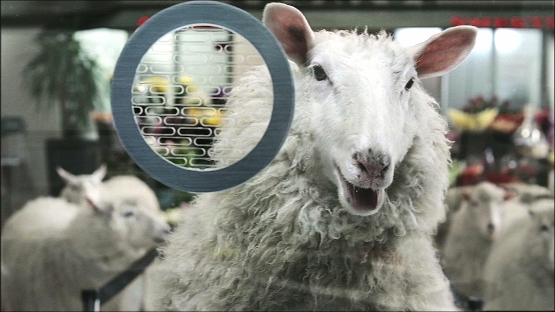 Trainline 'Sheep'