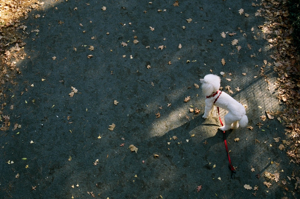 new-6 - Poodle. Central Park. 35mm Portra 400.