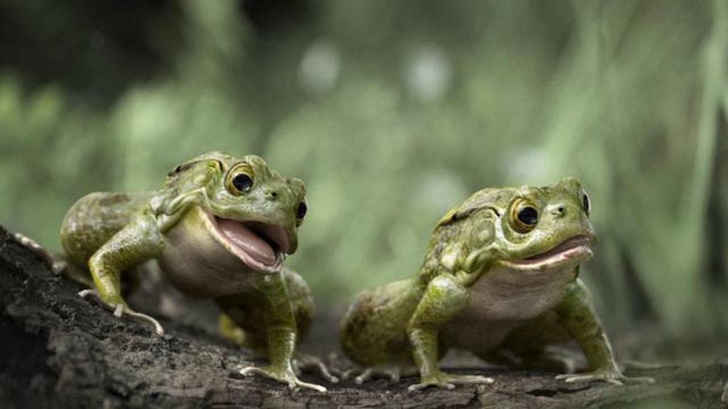 Honda - frogs