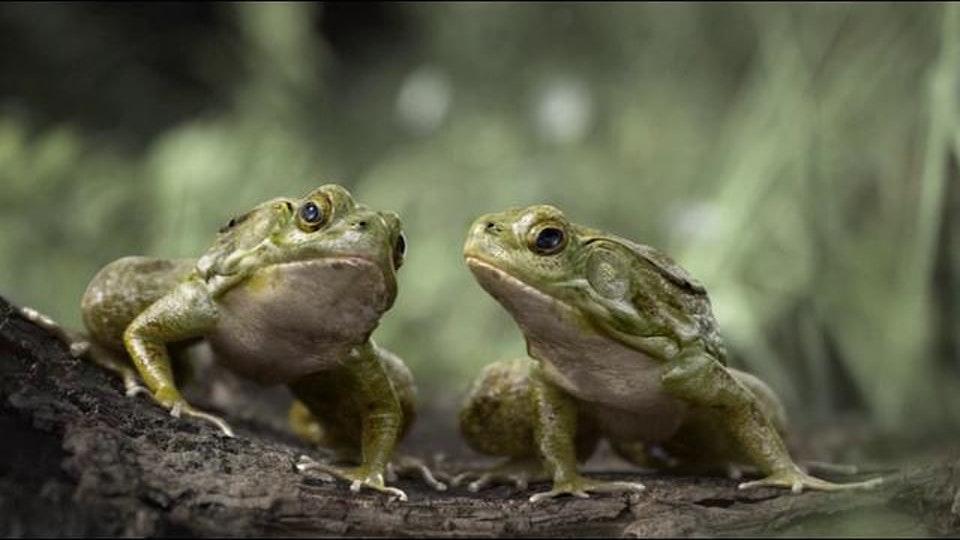 הונדה צפרדעים