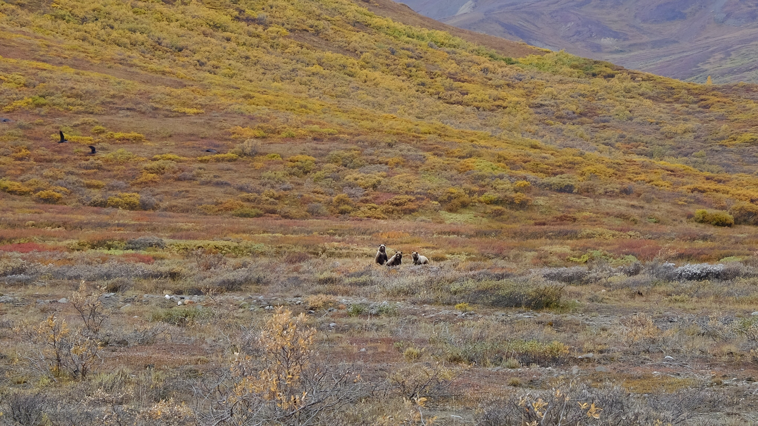 Three Grizzlies - Denali National Park