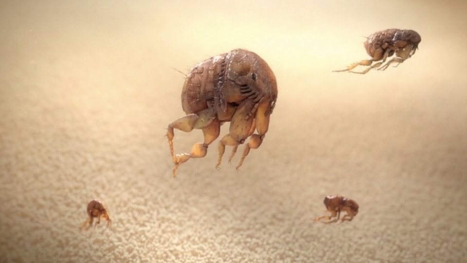Fleas Are Fast