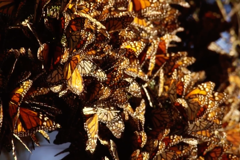 The Butterfly Trees / El Árbol de Mariposas