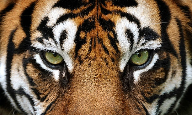 Tiger Farming Is On The Increase