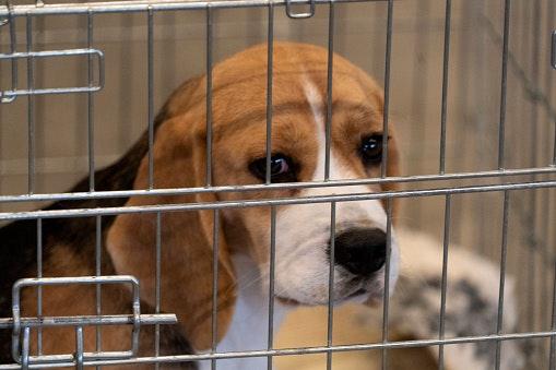 Laboratory Beagles