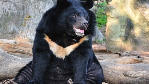 The Plight Of The Asiatic Bear