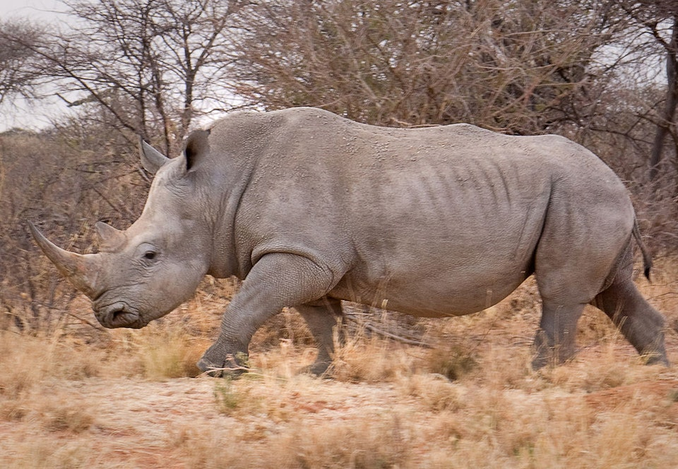 NEWS - white rhino