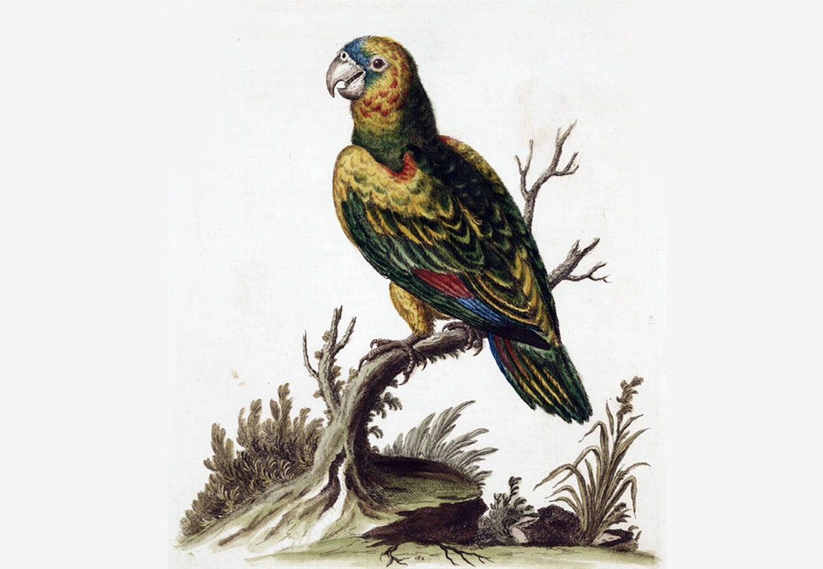 NEWS - yellow shouldered parrot