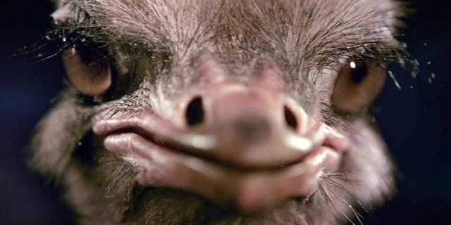 Animal Planet - Ostrich - Ident