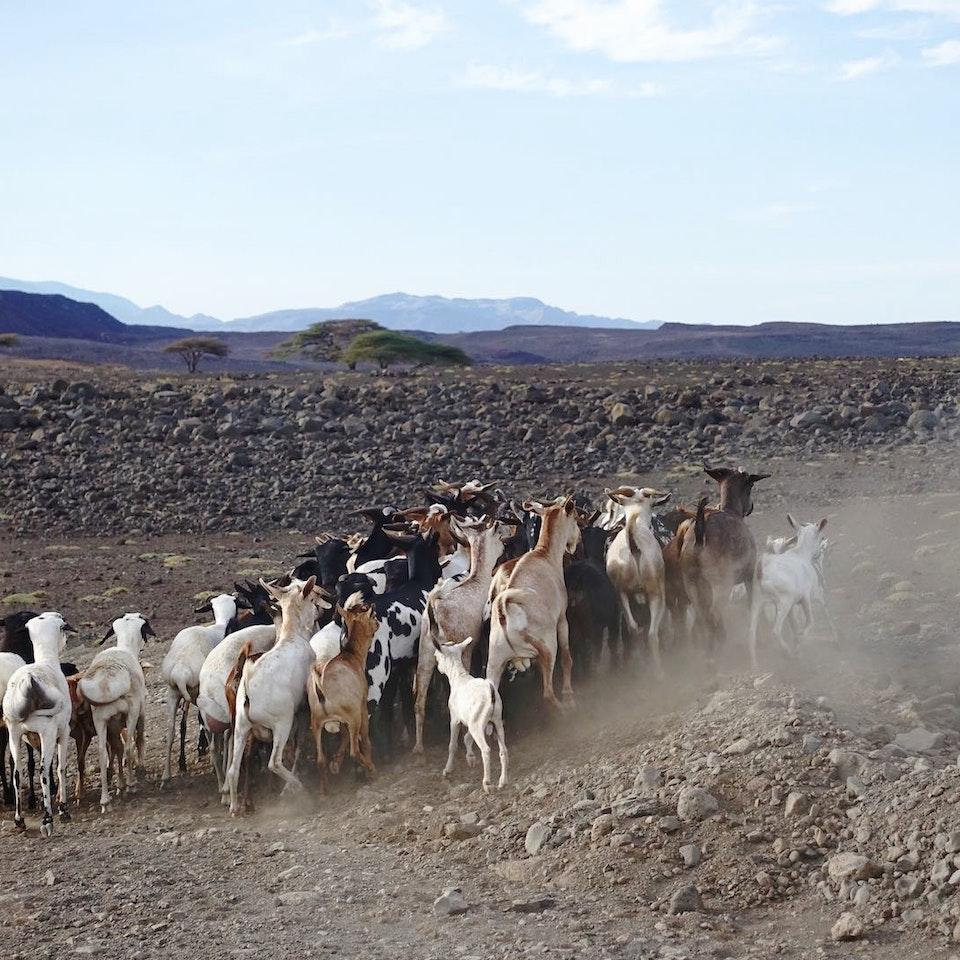 Lake Turkana Wind Power Goat herder