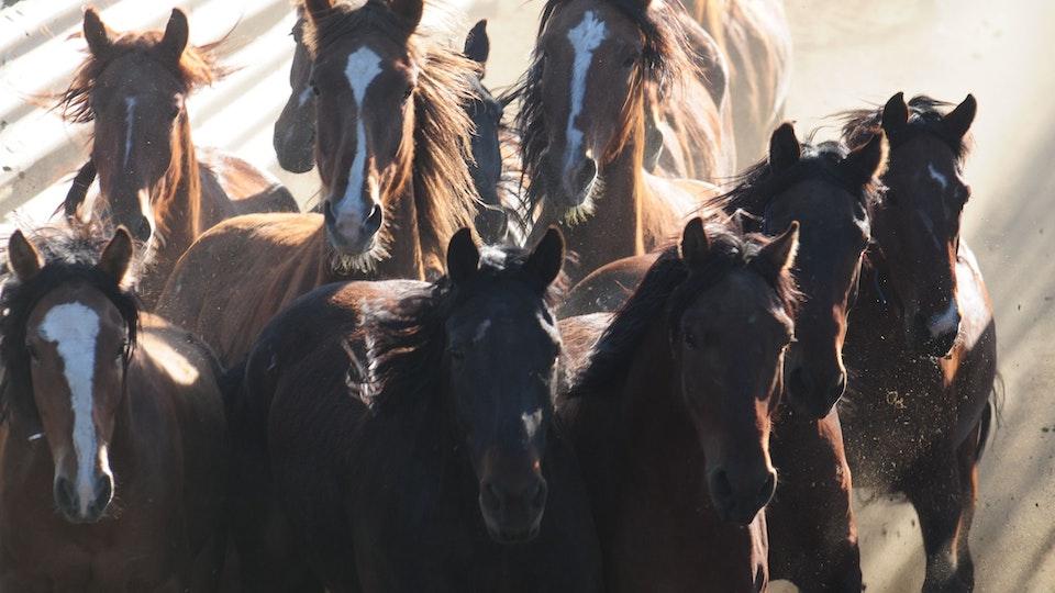 Among Horses and Men, documentary 70 min -