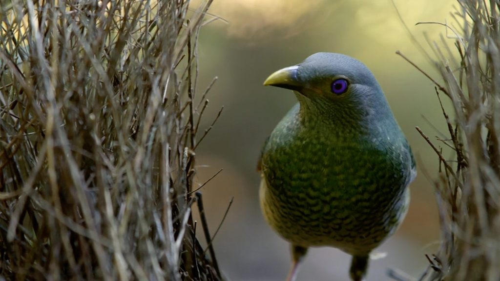 Life Story - Satin Bower Bird