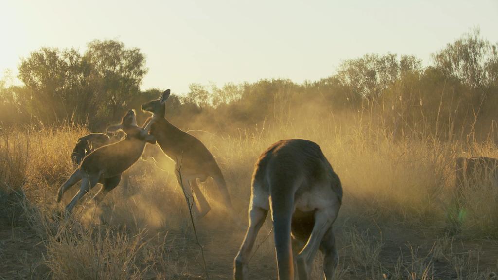 Kangaroo Fight Club