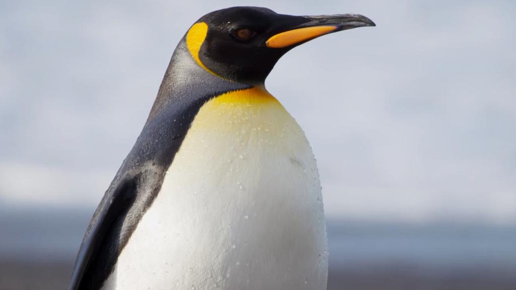 Blue Planet II - Penguins