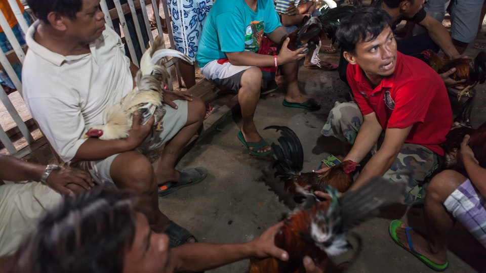 Cock Fight in the Philippines