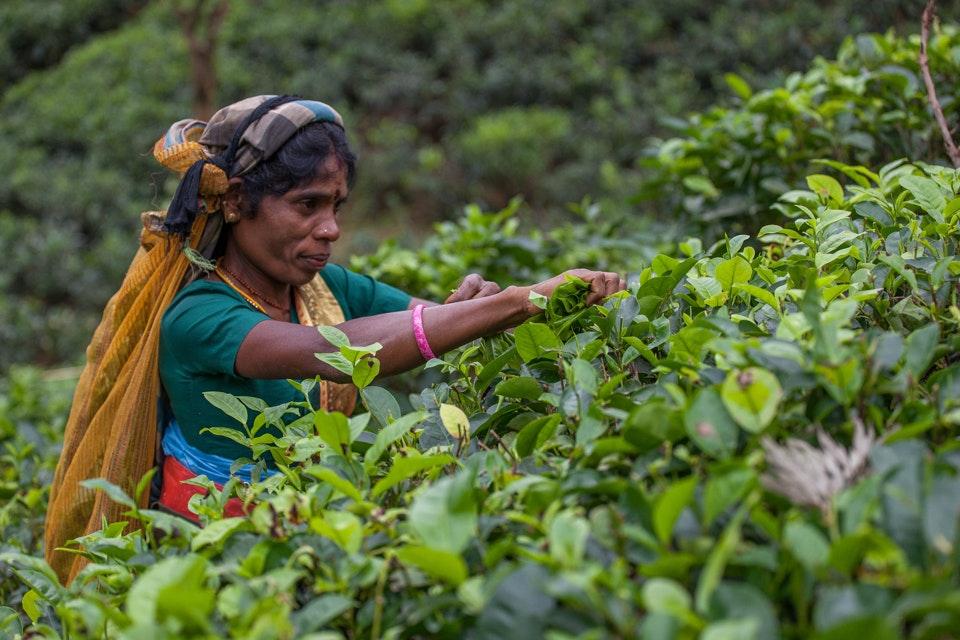 Tea plucker - Care International, Sri Lanka