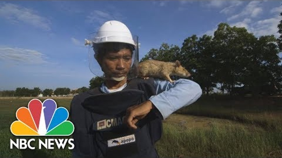 Demining Cambodia: The Best Man For The Job Are Actually Giant Rats   NBC News