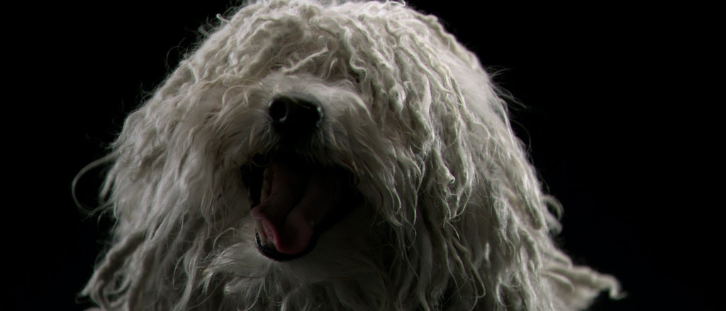 USA WESTMINSTER DOG SHOW