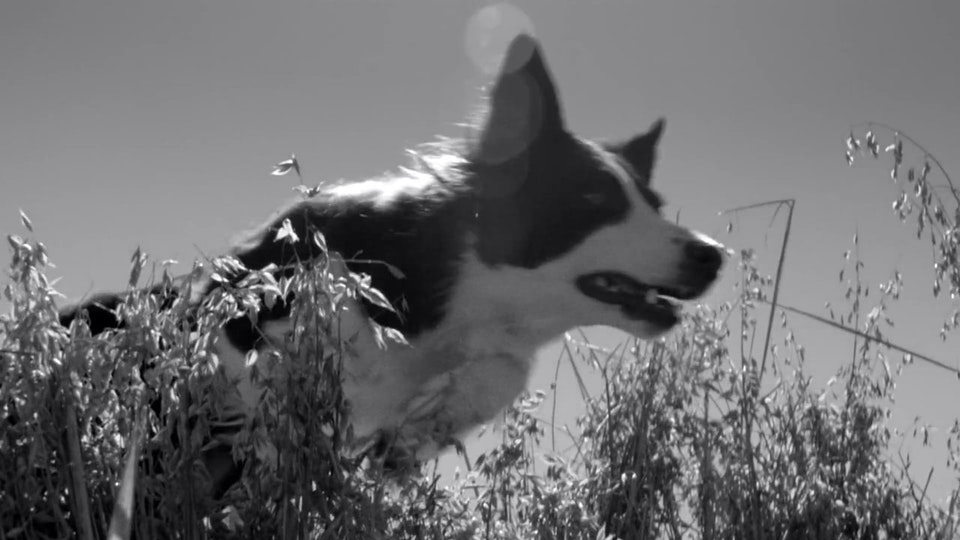 Frontline Collie