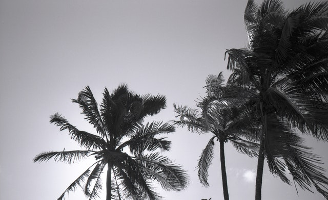 palm tress b&w