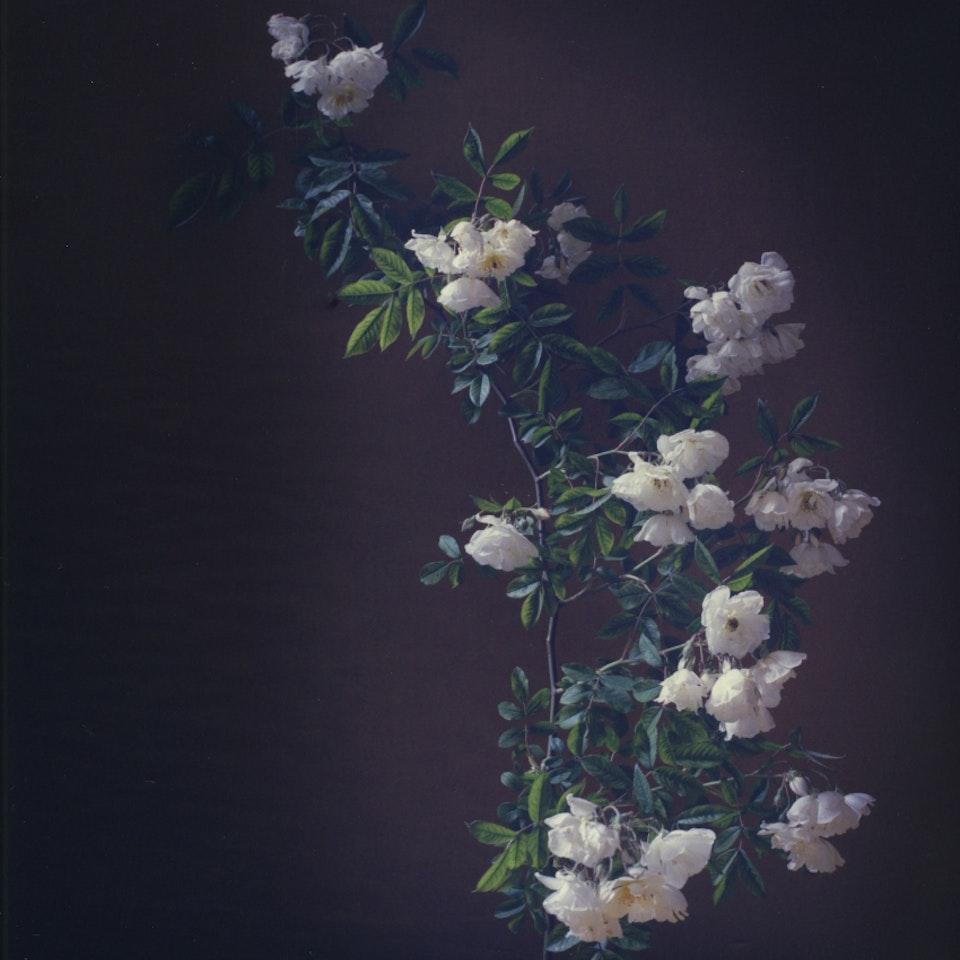 Violaine Chapallaz - ©Violaine Chapallaz Rose of my garden #2