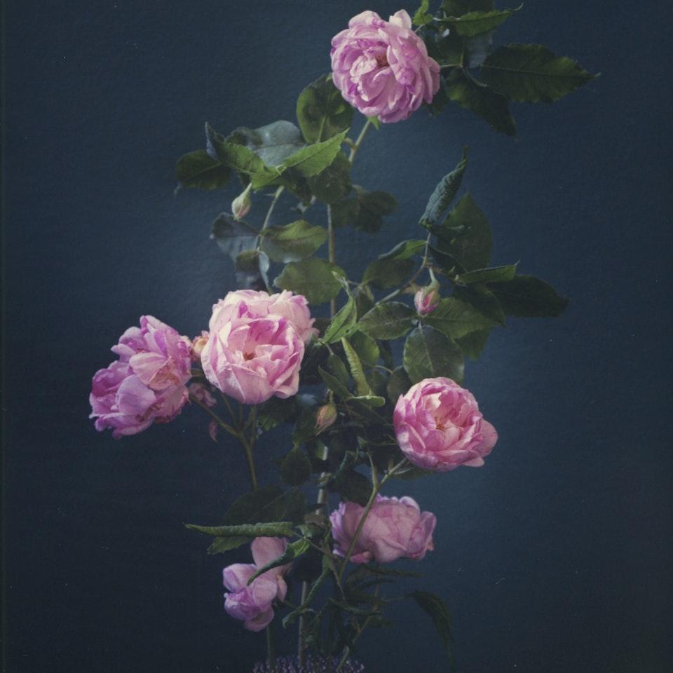 Violaine Chapallaz - ©Violaine Chapallaz Rose of my garden #3