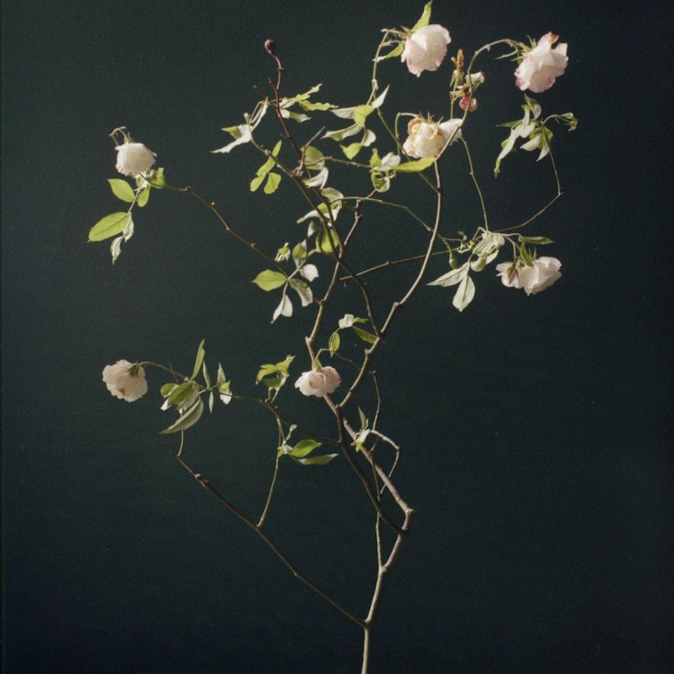 Violaine Chapallaz - ©Violaine Chapallaz Rose of my garden #1